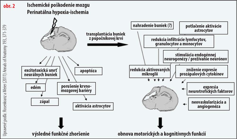 Regenerácia mozgu pomocou kmeňových buniek